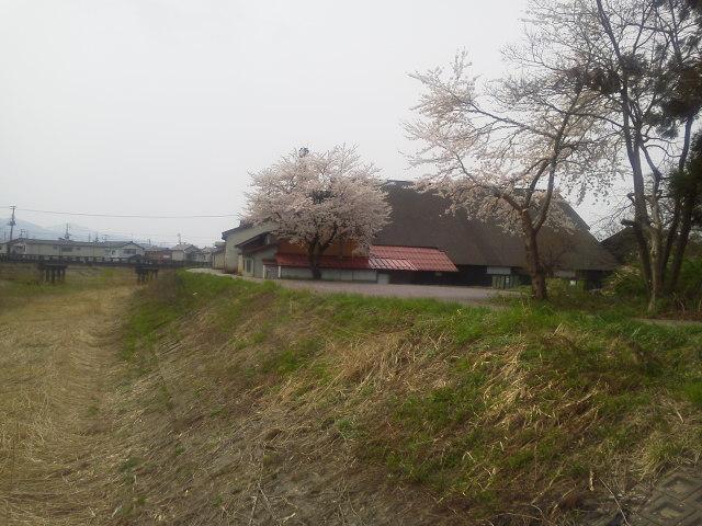 酒蔵脇の一本桜(<br />  4月10日)<br />  【新潟長岡】あるある長岡ぶらり